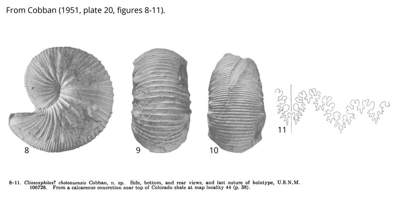 Holotype of <i>Clioscaphites choteauensis</i> (USNM 106728). Images modified from Cobban's original figures (1951, pl. 20, figs. 8-11).