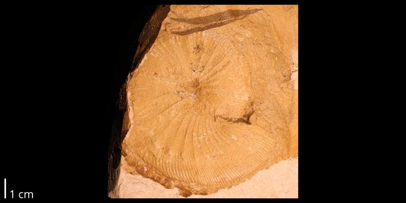 <i>Clioscaphites choteauensis</i> from the Coniacian to Campanian Niobrara Chalk of Logan County, Kansas (KUMIP 287404).