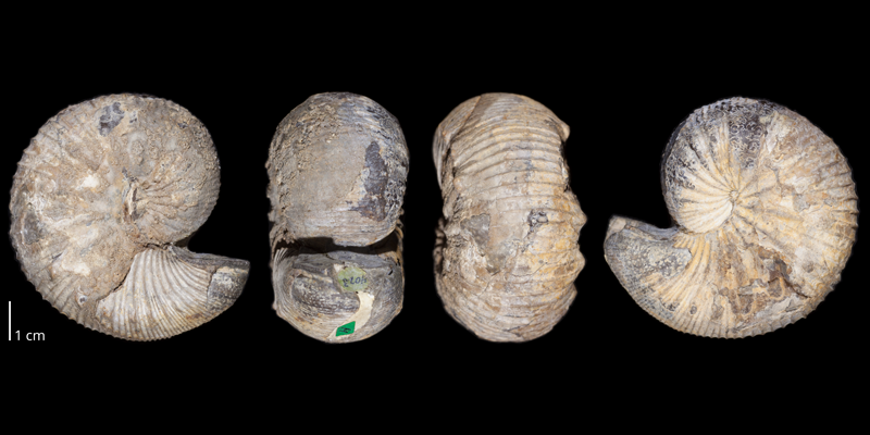 Holotype of <i>Clioscaphites choteauensis</i> (USNM 106728). Original unmodified images provided by courtesy of the Smithsonian NMNH and adapted and presented here under a Creative Commons BY-NC 4.0 license (NMNH GUID http://n2t.net/ark:/65665/3b24de80e-263e-4e40-a2b9-de741877c488).