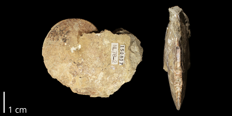 <i>Coilopoceras springeri</i> from the Mancos Shale (Semilla Sandstone Member) of Sandoval County, New Mexico (KUMIP 150807).
