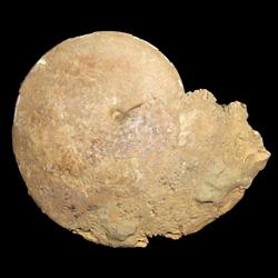 Coilopoceratidae