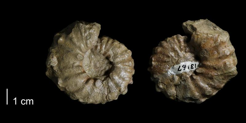 <i> Collignoniceras woolgari </i> (FHSMIP 1638).