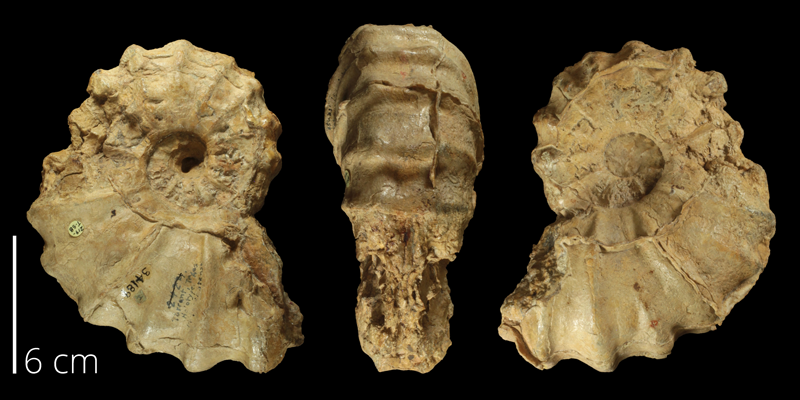 Holotype of <i>Conlinoceras tarrantense</i> (BEG 34189).