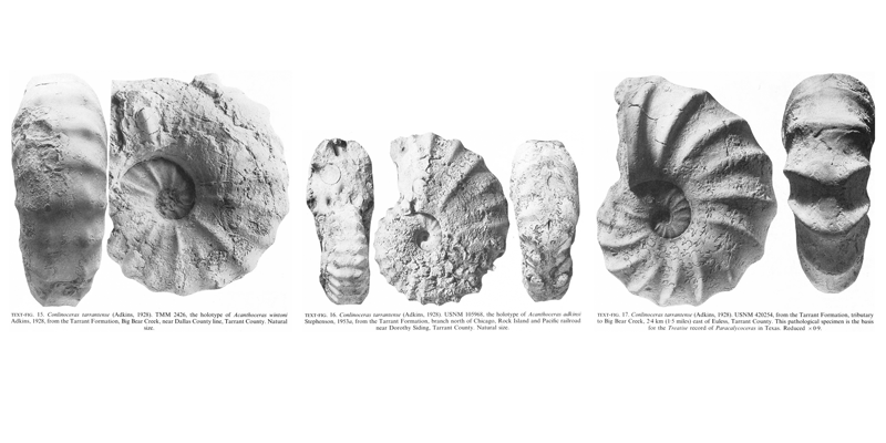 Specimens of <i>Conlinoceras tarrantense</i>. See original caption for additional details. Image modified from text-figs 15-17 in Kennedy and Cobban (1990a in <i>Palaeontology</i>), made available through Biodiversity Heritage Library via a CC BY-NC-SA 4.0 license.