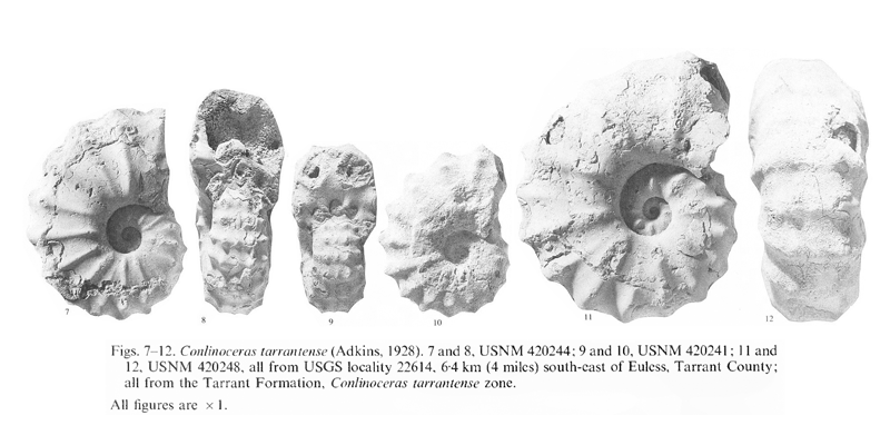 Specimens of <i>Conlinoceras tarrantense</i>. See original caption for additional details. Image modified from pl. 6, figs 7-12 in Kennedy and Cobban (1990a in <i>Palaeontology</i>), made available through Biodiversity Heritage Library via a CC BY-NC-SA 4.0 license.