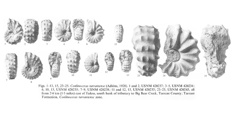 Specimens of <i>Conlinoceras tarrantense</i>. See original caption for additional details. Image modified from pl. 7 in Kennedy and Cobban (1990a in <i>Palaeontology</i>), made available through Biodiversity Heritage Library via a CC BY-NC-SA 4.0 license.