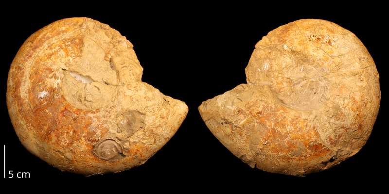 <i>Eopachydiscus marcianus</i> from the Albian Duck Creek Limestone of Marshall County, Oklahoma (KUMIP 148431).