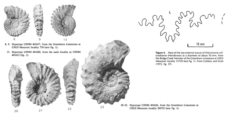Images of <i>Watinoceras coloradoense</i> from Cobban (1988; USGS Bulletin 1788; public domain).