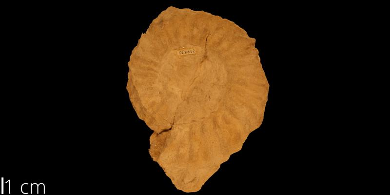 <i> Watinoceras hattini </i> from the Turonian Greenhorn Limestone Fm. of Washington County, Kansas (KUMIP 219870).