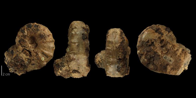 Holotype of <i>Acanthoceras bellense</i> (TMM 3034).