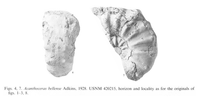 Specimens of <i>Acanthoceras bellense</i> (USNM 420215). See original caption for additional details. Image modified from pl. 12, figs 4 and 7 in Kennedy and Cobban (1990a in <i>Palaeontology</i>), made available through Biodiversity Heritage Library via a CC BY-NC-SA 4.0 license.