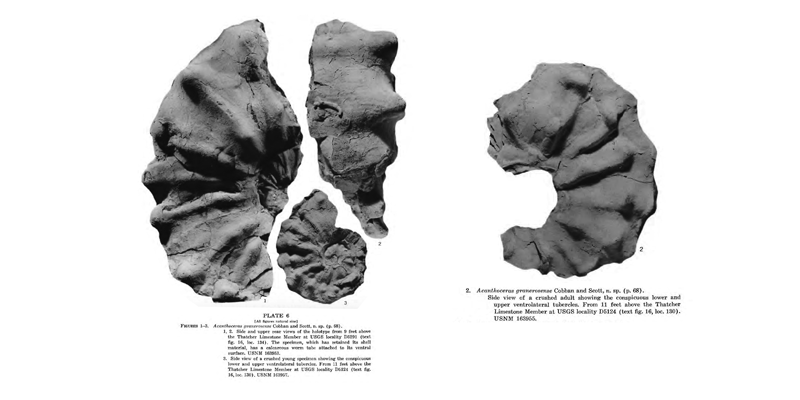 Specimens of <i>Acanthoceras granerosense</i>. Images modified from Cobban and Scott (1973 in USGS PP 645; plates 4 and 6); attained from BHL under a CC BY-NC-SA 4.0 license.