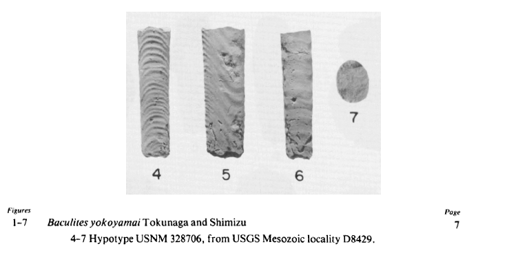 <i>Baculites yokoyamai</i> from the Turonian Mancos Shale (Rio Salado Tongue) of Cibola County, New Mexico (USNM 328706). Image modified from Pl. 1, Figs 4-7 in Cobban and Hook (1983, in New Mexico Bureau of Mines & Mineral Resources Memoir 41). Image used with permission.