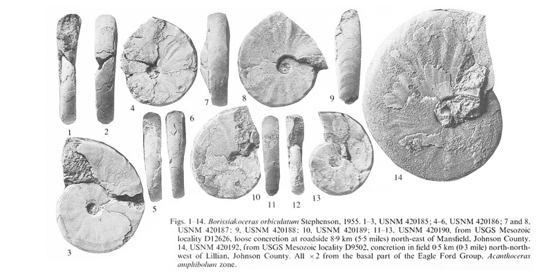 Specimens of <i>Borissiakoceras orbiculatum</i> from the Eagle Ford Group (basal) of Johnson County, Texas. See original caption for additional details. Image modified from pl. 1, figs 1-14 in Kennedy and Cobban (1990a in <i>Palaeontology</i>), made available through Biodiversity Heritage Library via a CC BY-NC-SA 4.0 license.