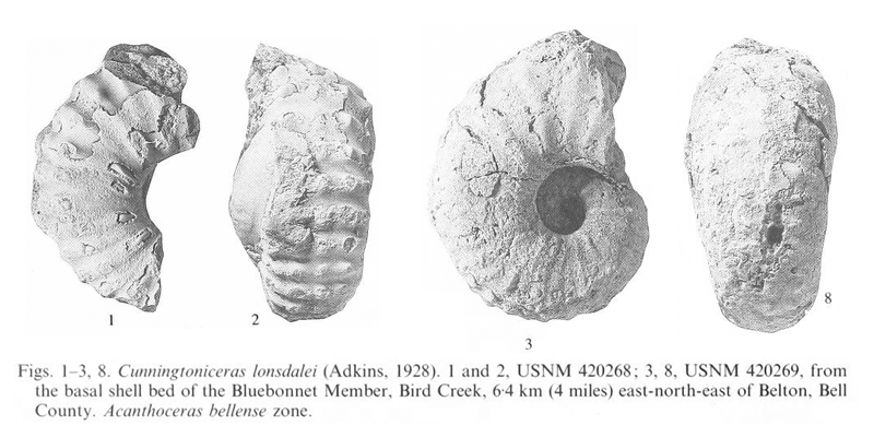 Specimens of <i>Cunningtoniceras lonsdalei</i>. See original caption for additional details. Image modified from pl. 12, figs 1-3 and 8 in Kennedy and Cobban (1990a in <i>Palaeontology</i>), made available through Biodiversity Heritage Library via a CC BY-NC-SA 4.0 license.