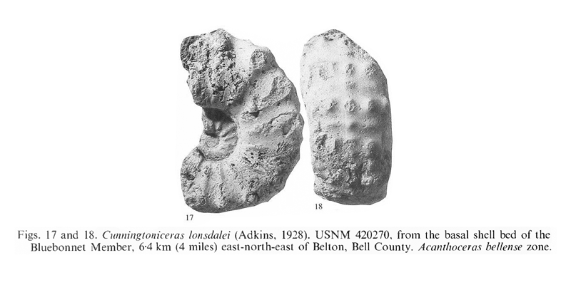 Specimen of <i>Cunningtoniceras lonsdalei</i> (USNM 420270). See original caption for additional details. Image modified from pl. 14, figs 17 and 18 in Kennedy and Cobban (1990a in <i>Palaeontology</i>), made available through Biodiversity Heritage Library via a CC BY-NC-SA 4.0 license.