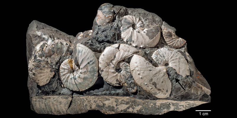 Assemblage of <i>Hoploscaphites sargklofax</i> the Pierre Shale of Meade County, South Dakota (AMNH 63552-63555). Modified from Fig. 5 in Landman et al. (2015) in American Museum Novitates no. 3833. Used with permission.