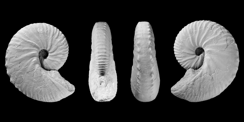 <i>Hoploscaphites sargklofax</i> microconch from the Pierre Shale of Weston County, Wyoming (AMNH 63574). Modified from Figs 18a-d in Landman et al. (2015) in American Museum Novitates no. 3833. Used with permission.