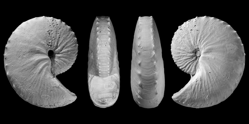 Holotype of <i>Hoploscaphites sargklofax</i> from the Bearpaw Shale of McCone County, Montana (USNM 605788). Modified from Figs 11a-d in Landman et al. (2015) in American Museum Novitates no. 3833. Used with permission.