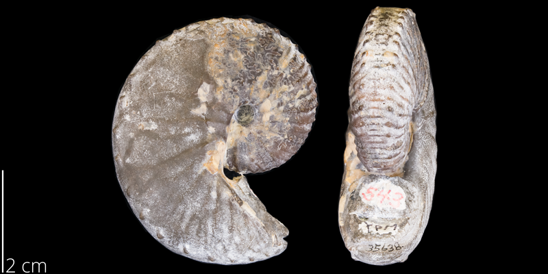 <i> Hoploscaphites sargklofax </i> from the Maastrichtian Pierre Shale Fm. of Niobrara County, Wyoming (YPM 35638).