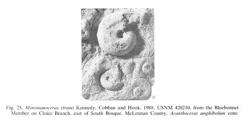 Specimens of <i>Moremanoceras straini</i> from the Lake Waco Formation (Blue Bonnet Member) of McLennan County, Texas. See original caption for additional details. Image modified from pl. 1, fig. 25 in Kennedy and Cobban (1990a in <i>Palaeontology</i>), made available through Biodiversity Heritage Library via a CC BY-NC-SA 4.0 license.