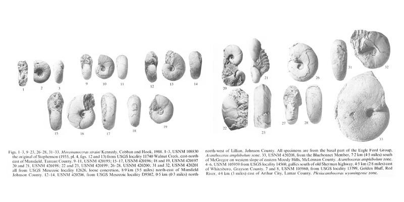 Specimens of <i>Moremanoceras straini</i>. See original caption for additional details. Image modified from pl. 2 in Kennedy and Cobban (1990a in <i>Palaeontology</i>), made available through Biodiversity Heritage Library via a CC BY-NC-SA 4.0 license.