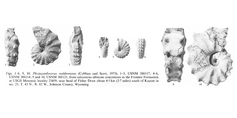 Specimens of <i>Acanthoceras muldoonense</i>. See original caption for additional details. Image modified from pl. 16, figs 1-6 and 9, 10 in Kennedy and Cobban (1990a in <i>Palaeontology</i>), made available through Biodiversity Heritage Library via a CC BY-NC-SA 4.0 license.