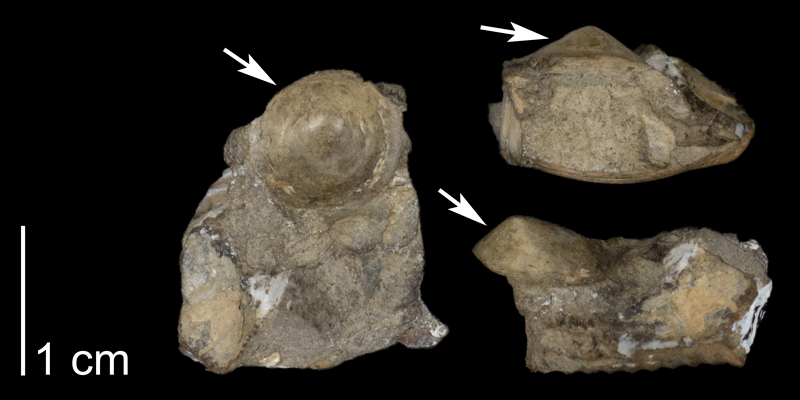 <i> Acmaea parva </i> from the Late Cretaceous Pierre Shale Fm. of Meade County, South Dakota (FHSMIP 1329).