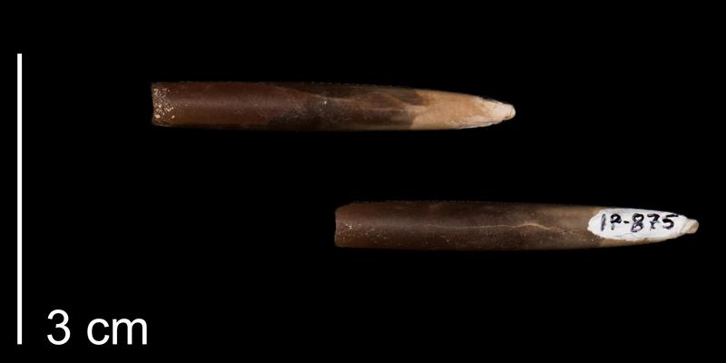 <i>Actinocamax laevigatus</i> (FHSMIP 875).