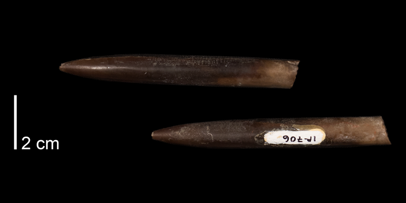 <i>Actinocamax manitobensis</i> FHSM IP 706).