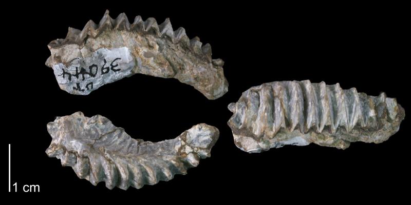<i>Ostrea</i> (<i>Alectryonia</i>) <i>carinata</i> (UT 39044).