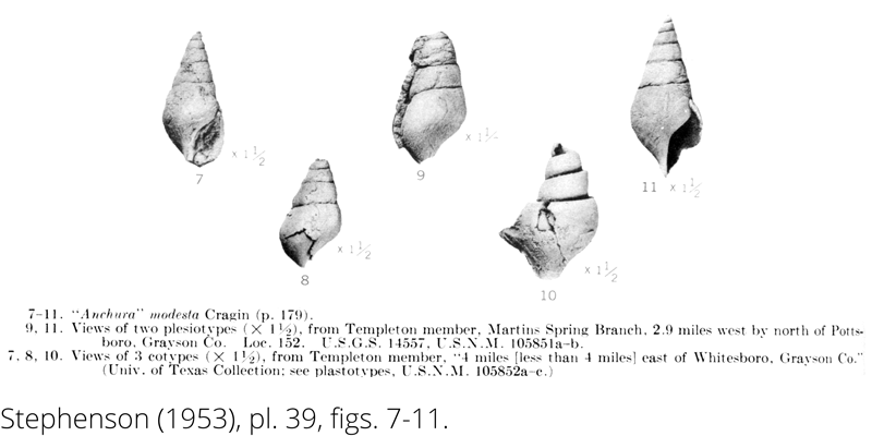 <i> Anchura modesta </i> from the Cenomanian Woodbine Fm. of Texas (Stephenson 1953).