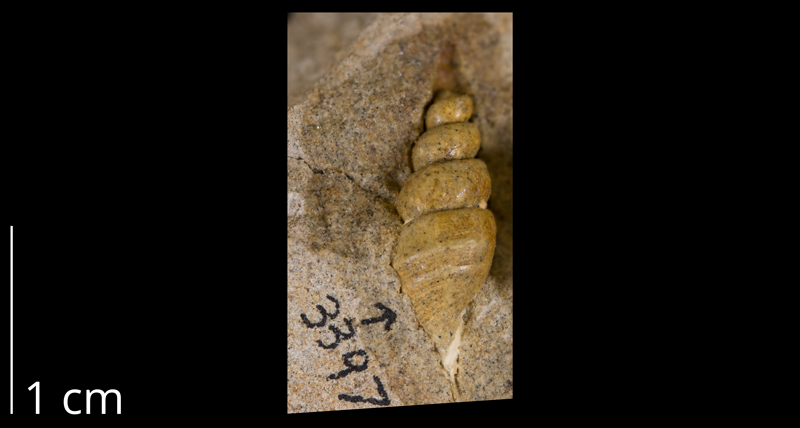 <i>Anchura nebrascensis</i> from the Spring Creek - Lay section of Moffat County, Colorado (YPM 339719).