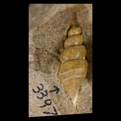 Aporrhaidae