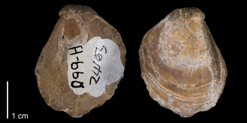 <i>Anomia gryphorhyn</i> from the Maastrichtian Hell Creek Fm. of Ziebach County, South Dakota (YPM 24103).