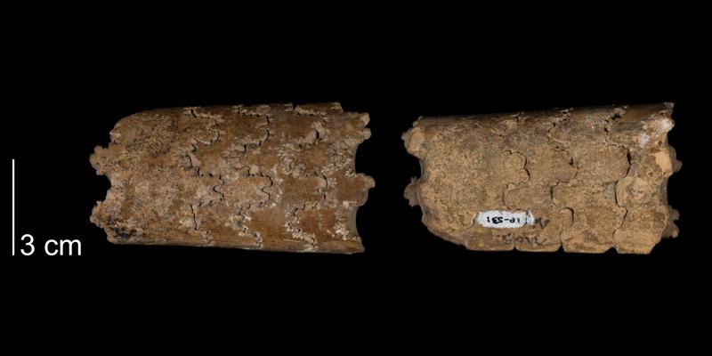 <i>Baculites asperformis</i> from the Greenhorn Formation of Smith County, Kansas (FHSMIP 531).