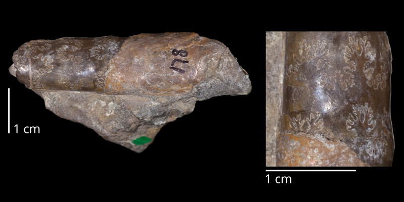 Holotype of <i>Baculites asperformis</i> (USNM 178a). Original unmodified images provided by courtesy of the Smithsonian NMNH and adapted and presented here under a Creative Commons BY-NC 4.0 license (NMNH GUID http://n2t.net/ark:/65665/38d1a0018-c7b1-4afd-b0da-ce1eabefe2ab).