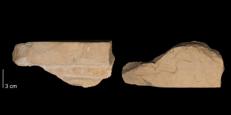 <i> Baculites codyensis </i> from the Niobrara Fm. of Rooks County, Kansas (FHSMIP 1468).