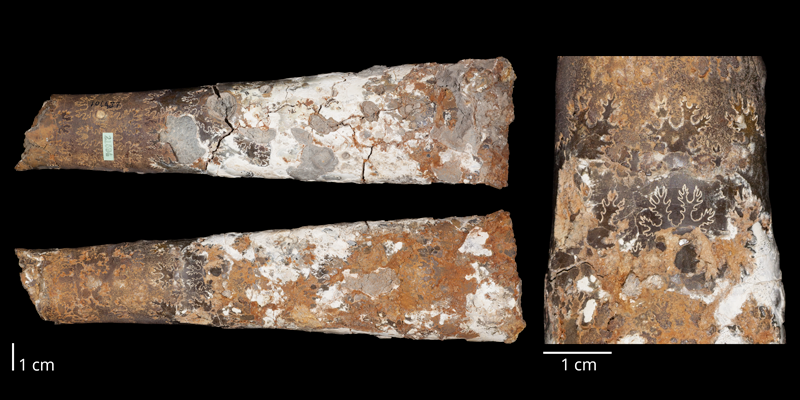 Holotype of <i>Baculites gregoryensis</i> (USNM 106987). Original unmodified images provided by courtesy of the Smithsonian NMNH and adapted and presented here under a Creative Commons BY-NC 4.0 license (NMNH GUID http://n2t.net/ark:/65665/3cec1105d-09ac-4811-b027-7fce3304b6c0).