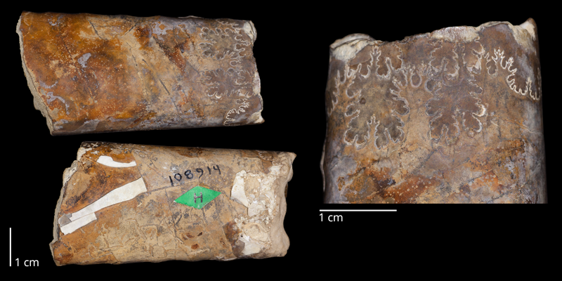 Holotype of <i>Baculites perplexus</i> (USNM 108914). Original unmodified images provided by courtesy of the Smithsonian NMNH and adapted and presented here under a Creative Commons BY-NC 4.0 license (http://n2t.net/ark:/65665/369504f43-68cd-4abd-9eac-61f26a9b0fd6).