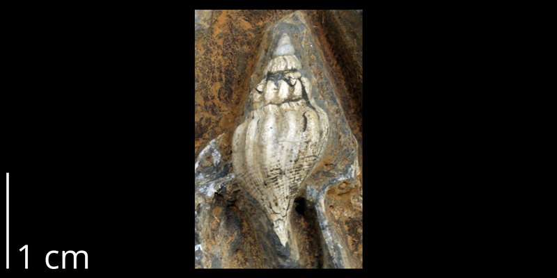 <i>Bellifusus willistoni</i> (KUMIP 58908).