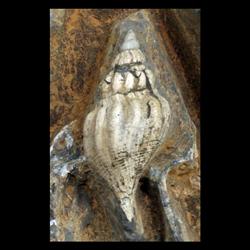 Bellifusus willistoni