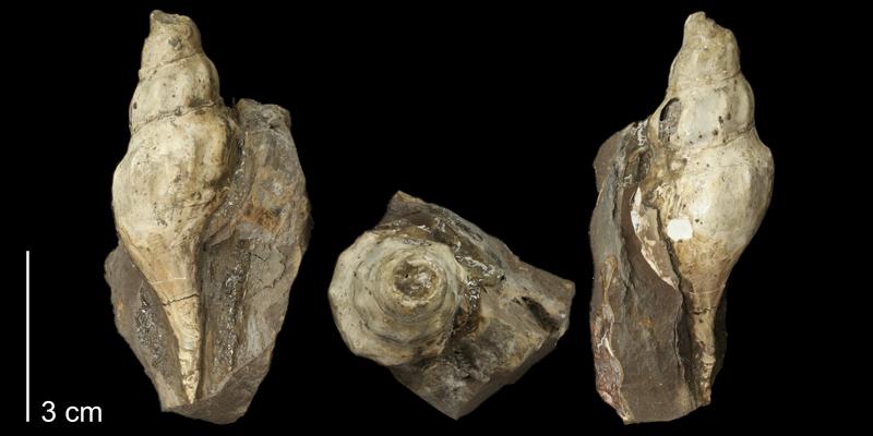 <i>Bellifusus willistoni</i> (KUMIP 58909).