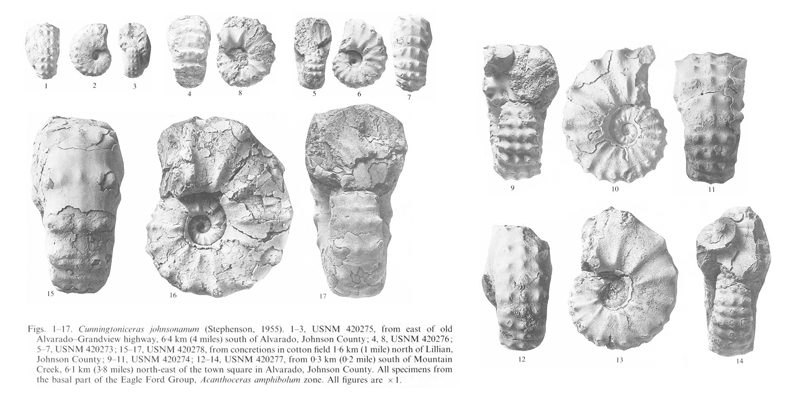Specimens of <i>Cunningtoniceras johnsonanum</i>. See original caption for additional details. Image modified from pl. 10 in Kennedy and Cobban (1990a in <i>Palaeontology</i>), made available through Biodiversity Heritage Library via a CC BY-NC-SA 4.0 license.