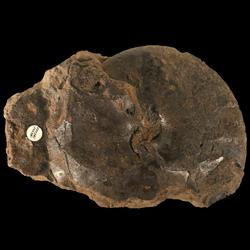 Engonoceratidae