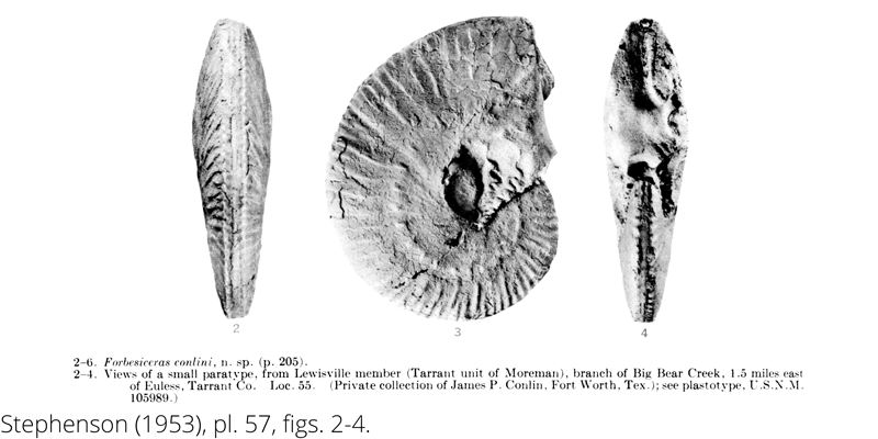 <i> Forbesiceras conlini </i> from the Cenomanian Woodbine Fm. of Texas (Stephenson 1953).