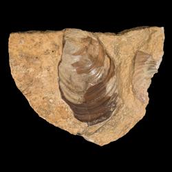 Inoceramus cuvieri