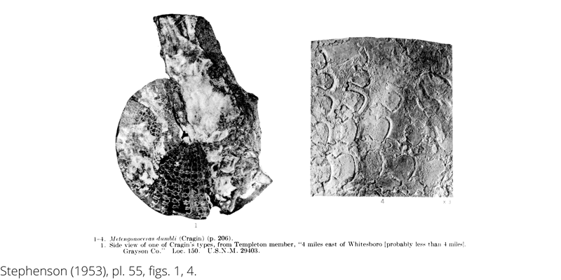 <i> Metengonoceras dumbli </i> from the Cenomanian Woodbine Fm. of Texas (Stephenson 1953).