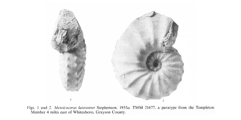 Specimen of <i>Metoicoceras latoventer</i>. See original caption for additional details. Image modified from pl. 17, figs 1, 2 in Kennedy and Cobban (1990a in <i>Palaeontology</i>), made available through Biodiversity Heritage Library via a CC BY-NC-SA 4.0 license.
