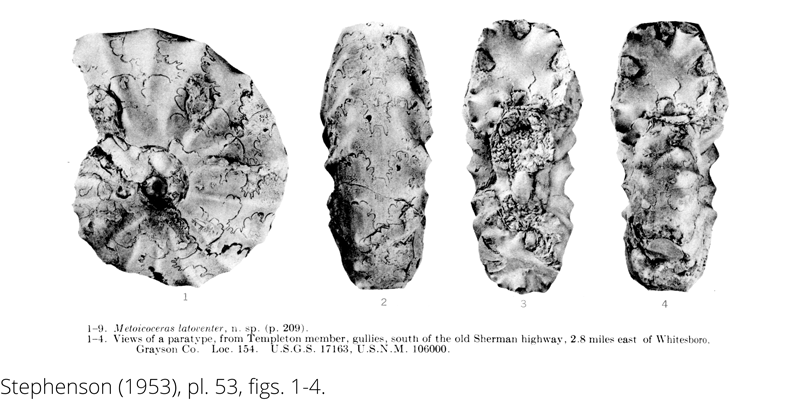 <i> Metoicoceras latoventer </i> from the Cenomanian Woodbine Fm. of Texas (Stephenson 1953).